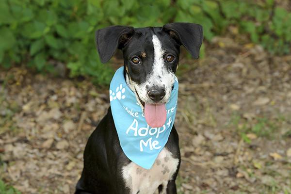 black and white dog wearing adopt me bandana