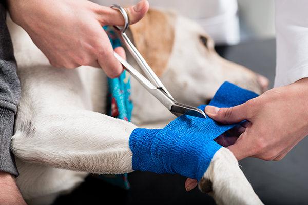 injured labrador retriever at vet