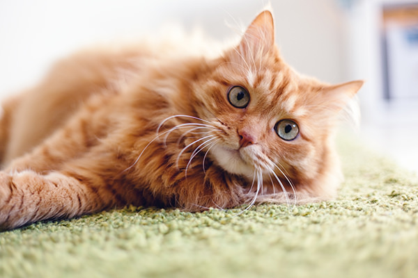 fluffy orange cat lying on green rug